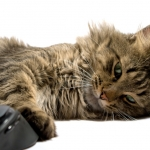 Non-mandatory vaccines can be helpful for pet cats too