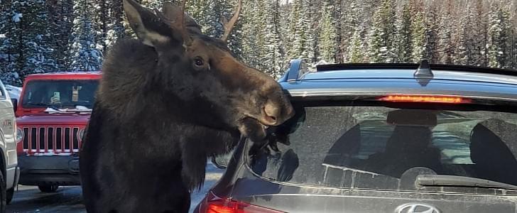 moose licking car