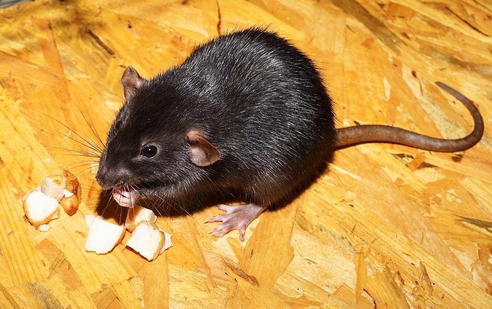 Pizza Rat…..Recreated!