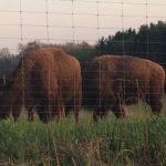 Autumn on the Prairie and Bison Tours at Nachusa Grasslands Cancelled Due to Pandemic