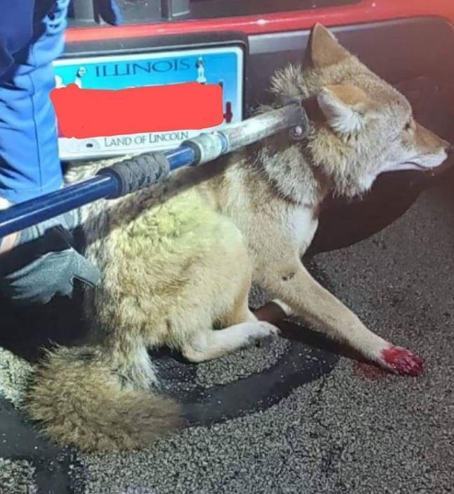 Whiteside County Sheriff Coyote