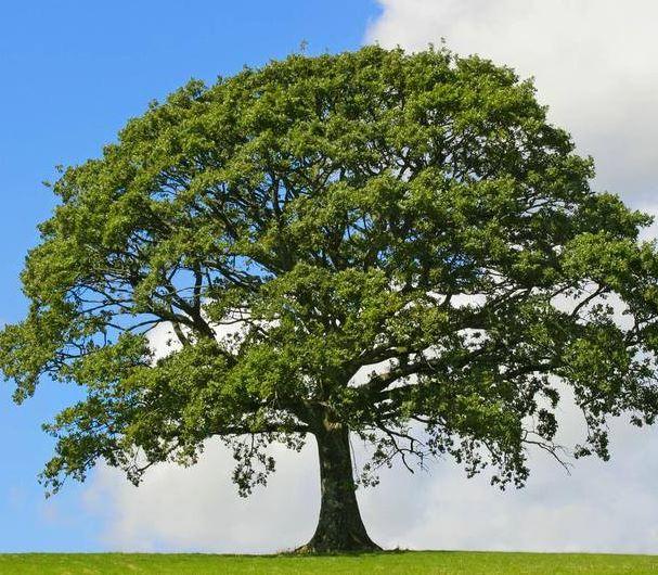 Dixon Park District Offering Free Oak Trees