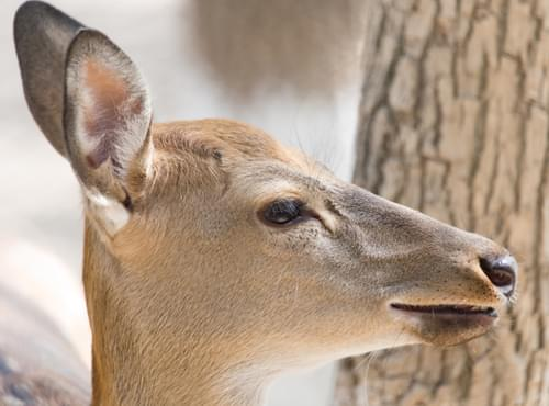 Deer Ready For Winter?  What are they telling us?