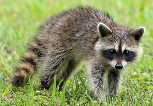 Florida Woman Finds Raccoon In Christmas Tree, Films Ensuing Chaos After It Climbs Onto Chandelier