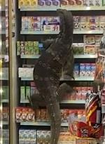 Giant Lizard 7 Eleven 2021