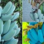 Blue Bananas That Taste Like Ice Cream