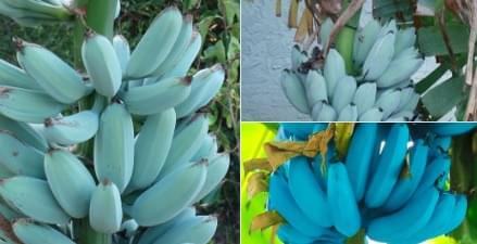 Blue Bananas That Taste Like Ice Cream