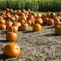 pumpkin-patch-3731150_1920