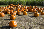 Local Pumpkin Patches To Check Out