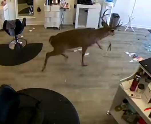 deer in a salon
