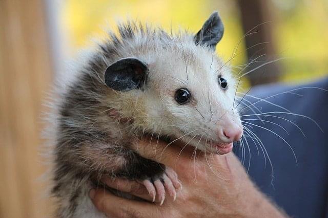 possum-478162_640