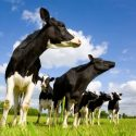 Coronavirus Adding To The Troubles For Wisconsin Dairy Farmers