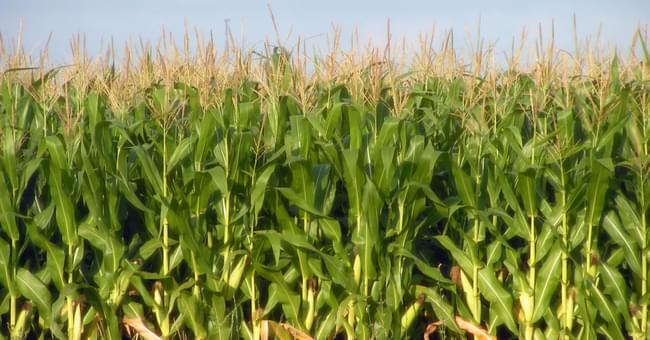 Illinois corn and soybean harvest projections being reduced