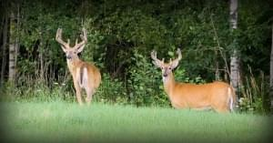Salem City Council exploring options to cutting city's deer herd