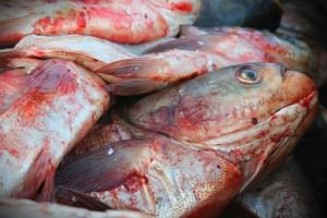 Free Asian carp meals at 9 locations in Illinois on Saturday