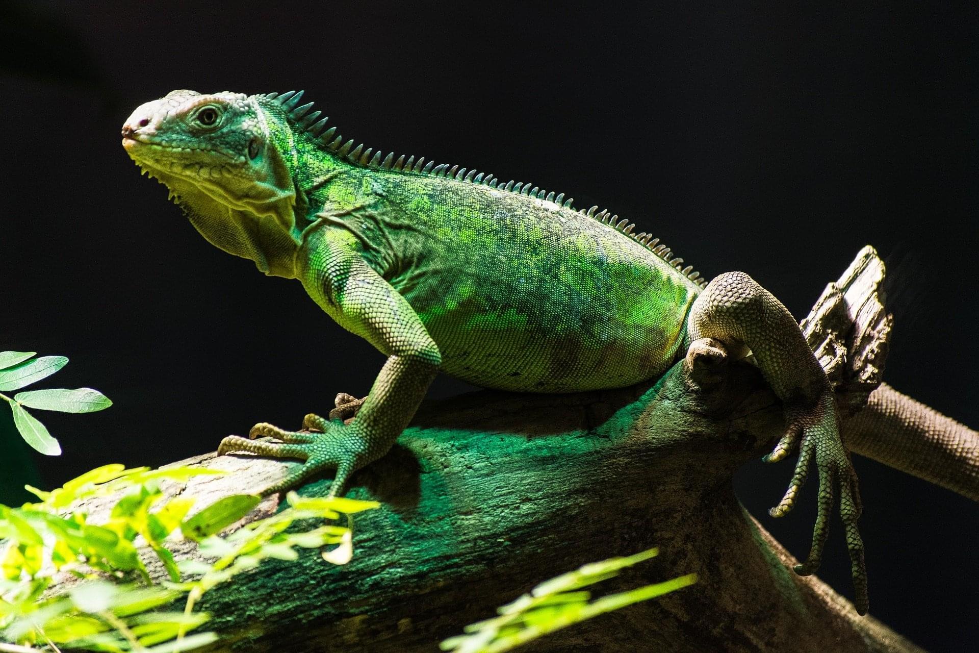 lizard-1085553_1920