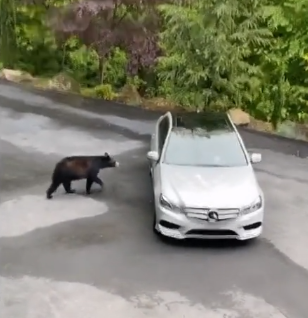 The Bears Tries To Steal A Car [VIDEO]