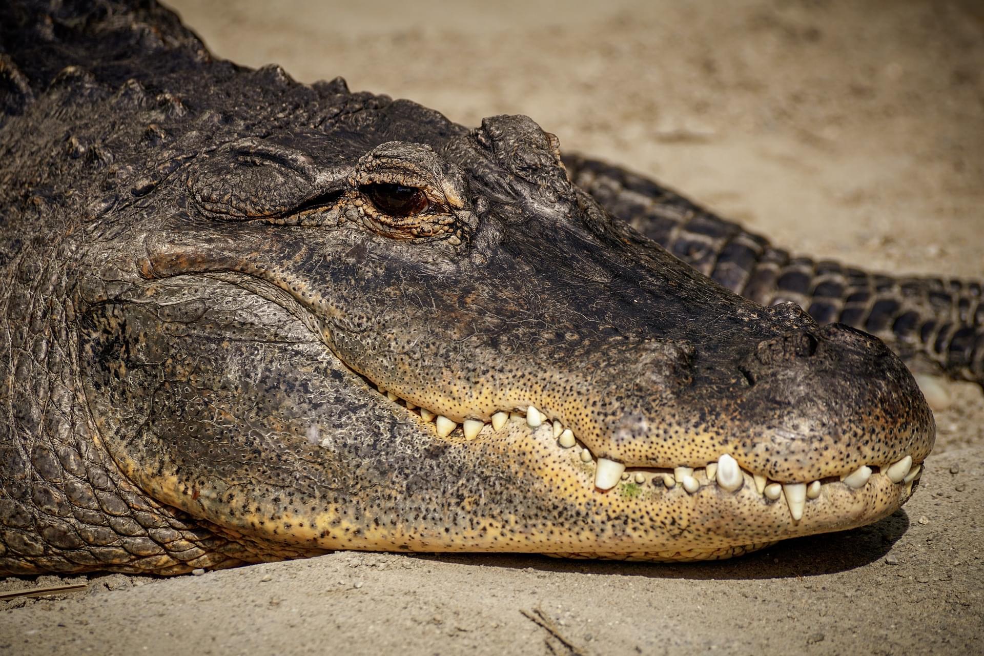 alligator-3768772_1920