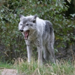 Wolves attack cattle in Baker County