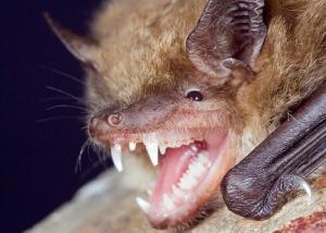 Rabid Bat Found in Peotone Home