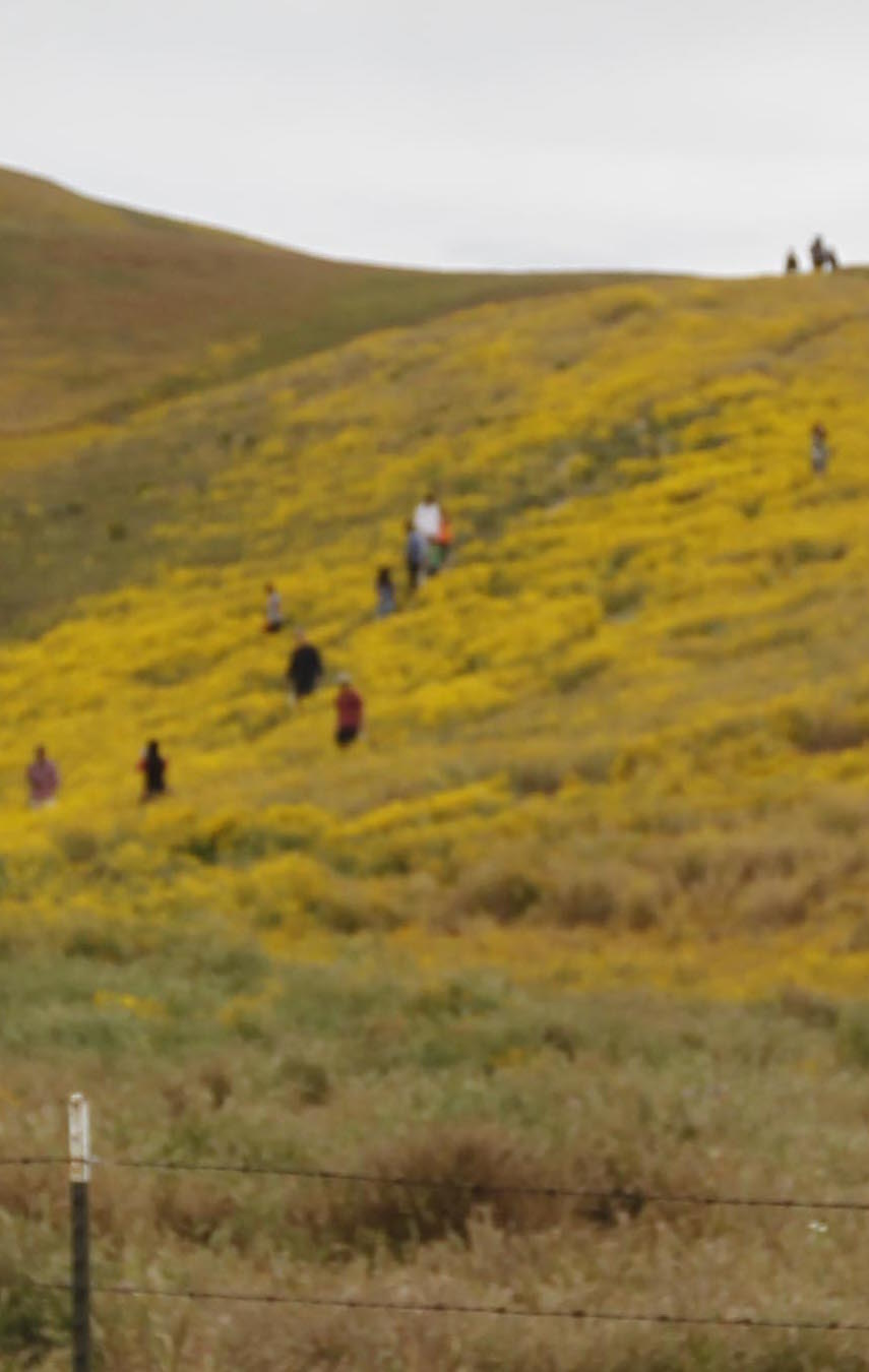 Expect crowds if you head to the Super Bloom