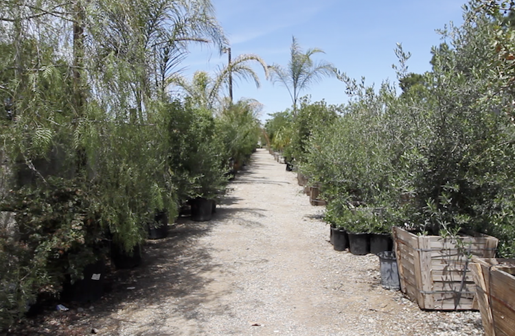 Rows of trees, shrubs and other plantings are ready for immediate delivery at Bolles Nursery in Bakersfield.