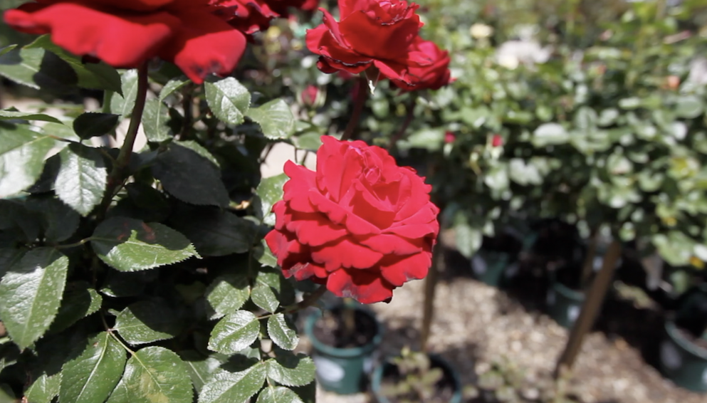 BUSINESS PROFILE: Bakersfield's Bolles Nursery keeps the customer first