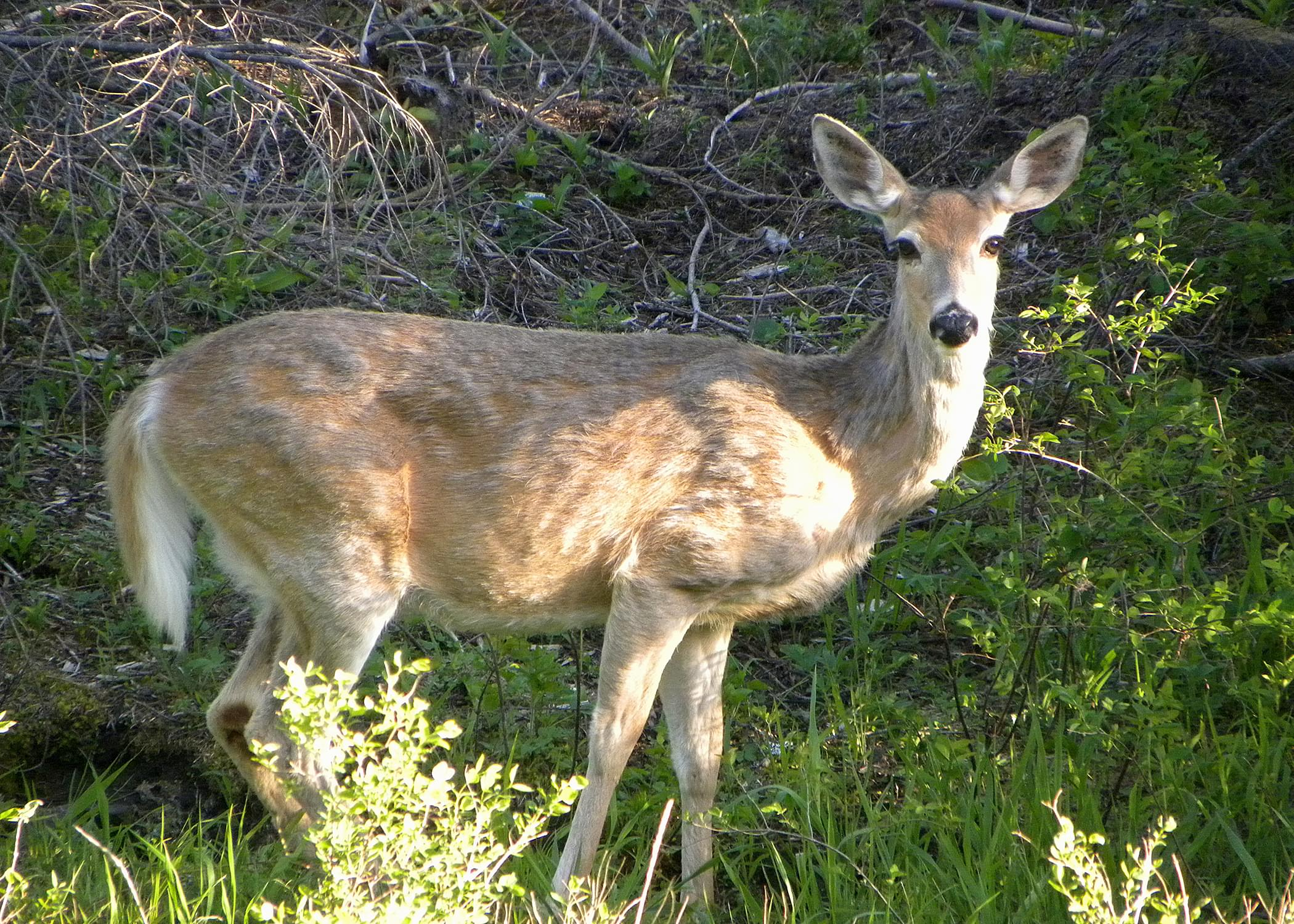 SALEM:  White-tailed deer die-off due to EHD