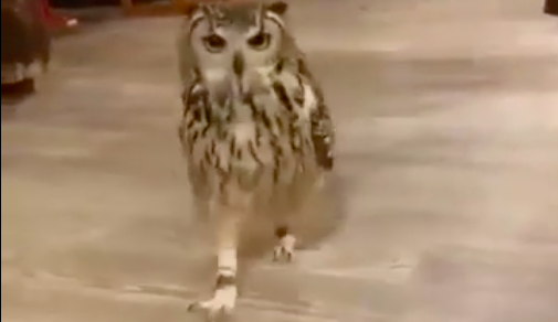 VV4-Feb-25-2020-An-Owl-Running[1]