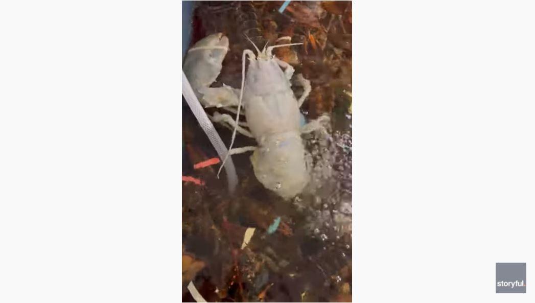 WATCH: Boston Seafood Company Catches Rare Albino Lobster