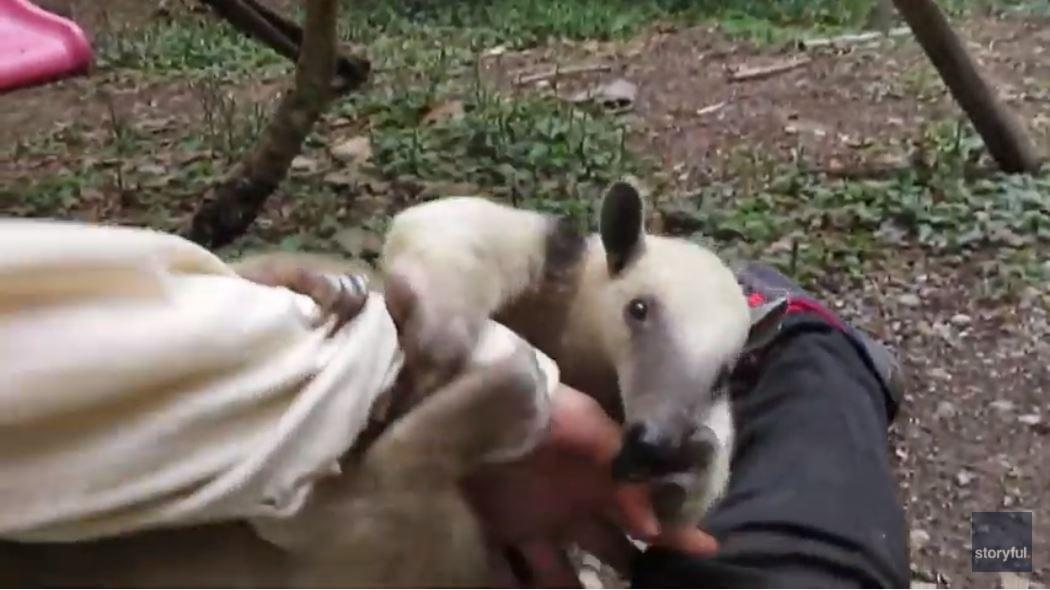 WATCH: Baby Anteater Decides It's Playtime at Bolivian Wildlife Sanctuary