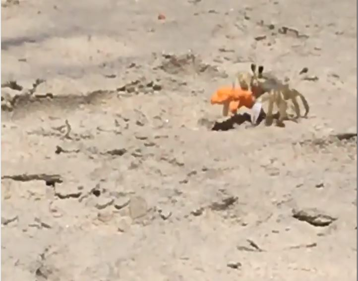 Ghost Crab Stoked About Cheetos