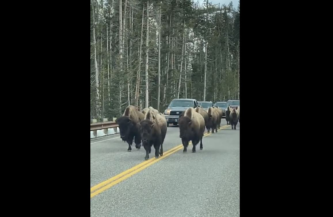 Late Nite Video | Traffic Stop, Bison Style!