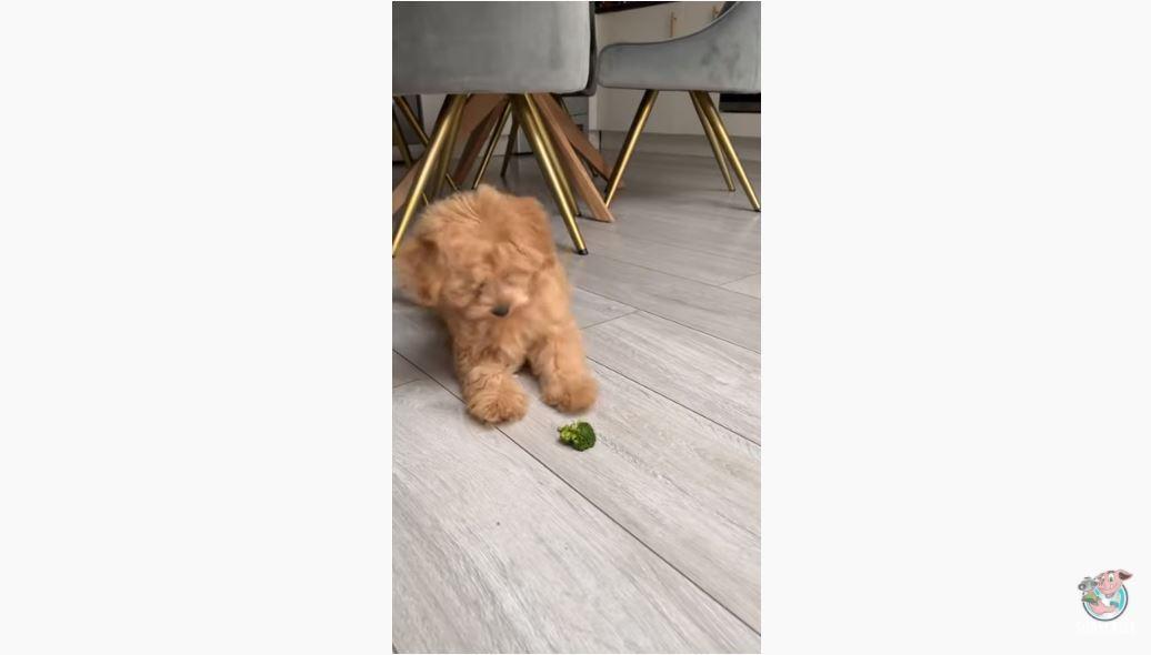 LNV : Dog vs. Broccoli