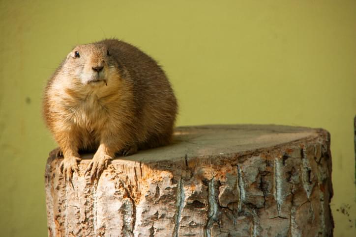 Happy Groundhog Day! Shadow or No Shadow?