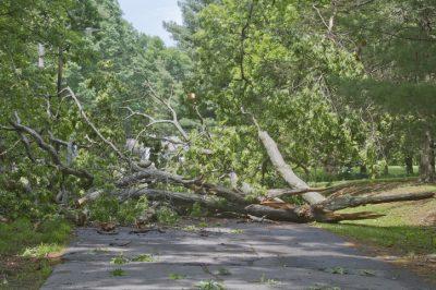 Tree Crumpled Across Road