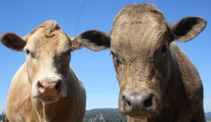 One cow and a beefalo