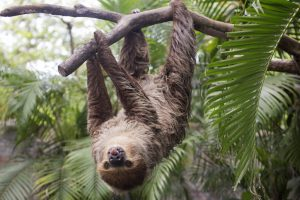 two-toed sloth show tounge