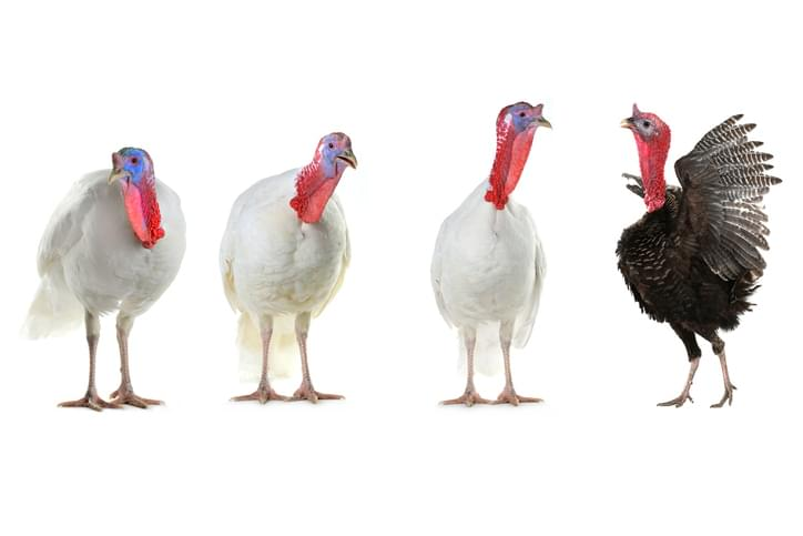 MUNDANE MYSTERIES: What happens to the turkey that the President Pardons?