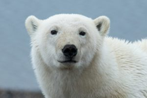 Polar Bear Pose