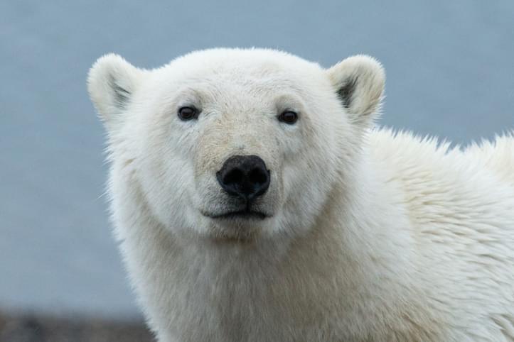 MUNDANE MYSTERIES: Why are polar bears white?