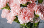 MUNDANE MYSTERIES: Why are carnations the most popular flower for Mother's Day?