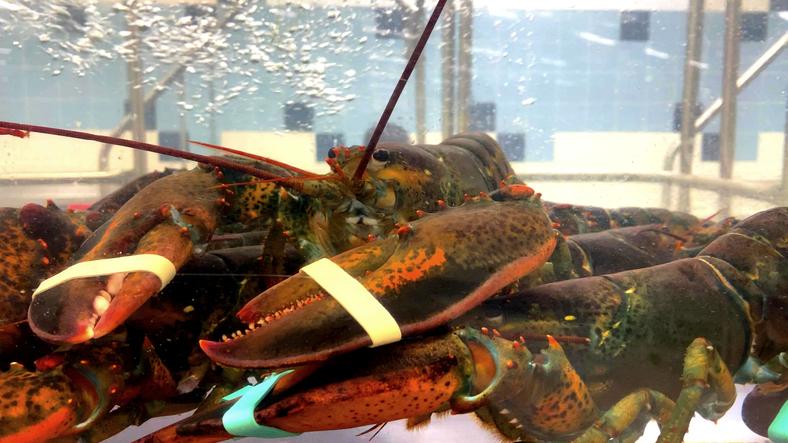 Lobsters in an aquarium of fish shop