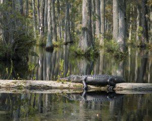 Alligator resting on log