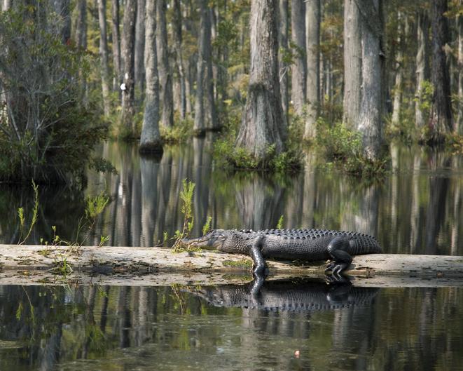 MUNDANE MYSTERIES: Can alligators climb trees?