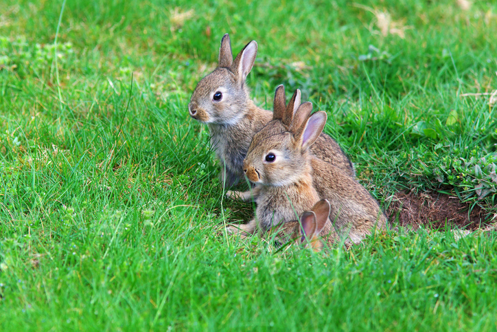 MUNDANE MYSTERIES: What is a group of bunnies called?