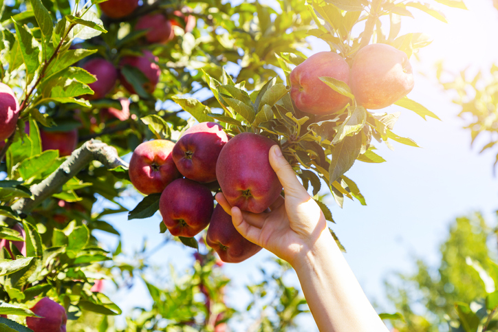 MUNDANE MYSTERIES: How long does it take apples to fully grow?