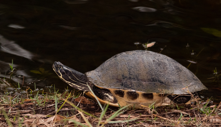 MUNDANE MYSTERIES: How can you tell if a turtle is male or female?