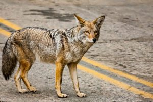 Coyote in Sequoia national park