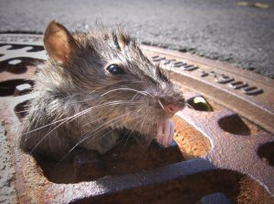 Rat - Looking Through A Metallic Gully Cover After Torrential Rain